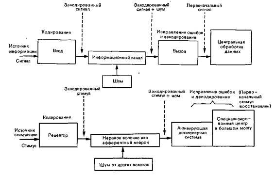 Рис. 3. Схема передачи информации в технических коммуникационных системах (вверху) и в нервной...
