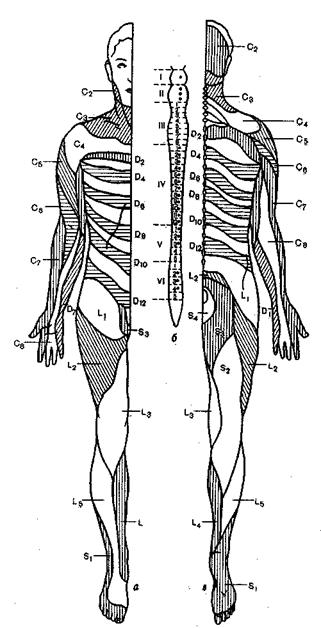Массаж спины начинают с плоскостного поглаживания, растирания от поясницы к шейному отделу (по...  Рис. 25.