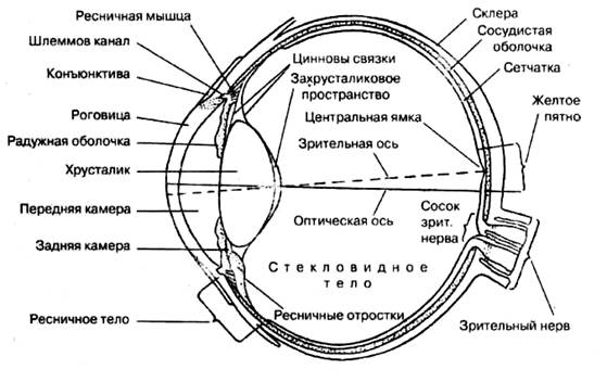 глазного яблока человека