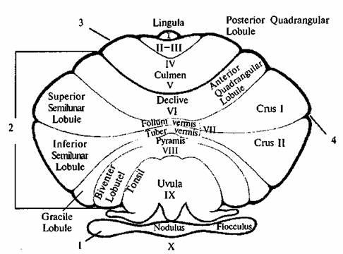 Схема коры мозжечка (вид