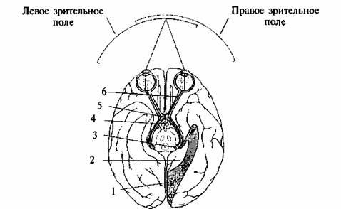 Схема строения зрительной
