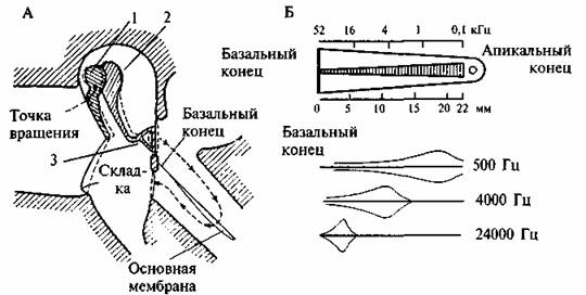 Вестибулярный аппарат был уже рассмотрен выше.  Опишем слуховой орган.  Костный канал улитки разделен двумя...
